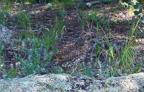 Estes Escape -- blue grouse