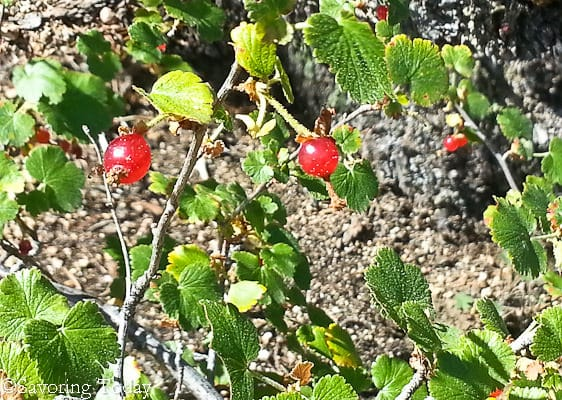 Estes Escape -- trail berries