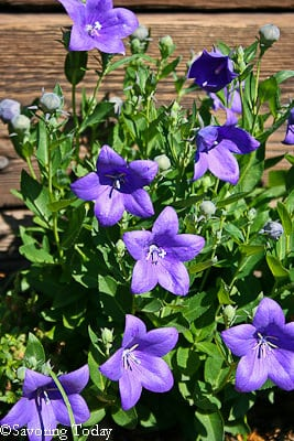 Balloon Flowers - beautiful-1