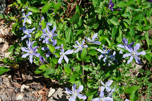 Flower Garden - Clematis (1 of 1)
